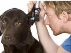 Otitis en perros, toda la información.